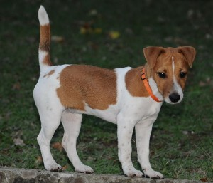 698px-Jack_Russell_Jackie
