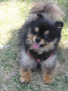 A_black_&_tan_Pomeranian_thats_losted_an_eye_due_to_an_infection