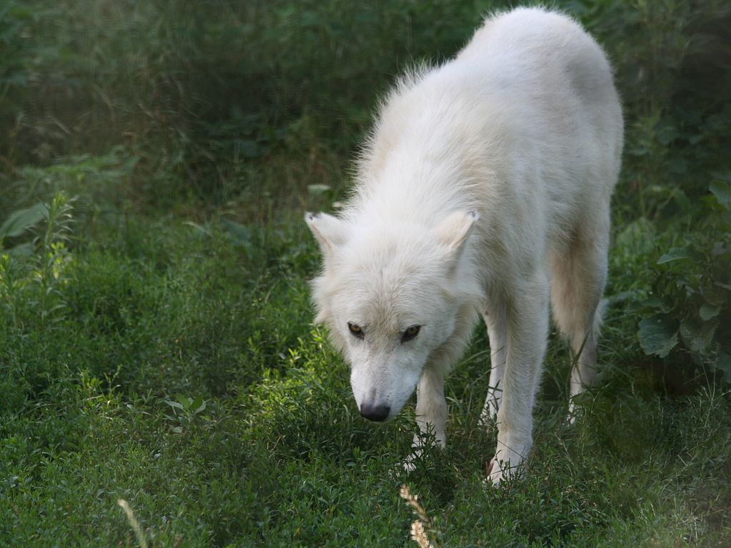 Arctic Wolf Florence